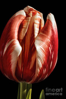 Red And White Striped Tulip by Madonna Martin