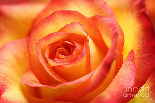 LHJB Photography - Red and yellow colored rose