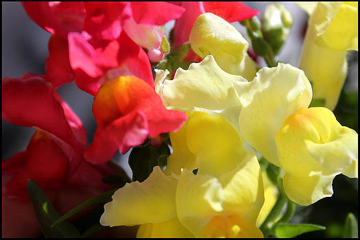 Red and Yellow Snapdragons III by Aya Murrells