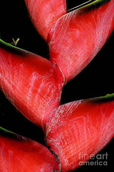 Sandra Bronstein - Red Beauty - Heliconia