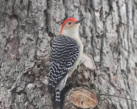 Red Bellied Woodpecker by Brad Fuller