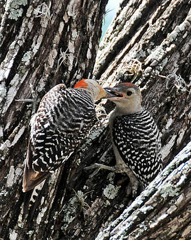 Red Bellied Woodpeckers by Geraldine Alexander