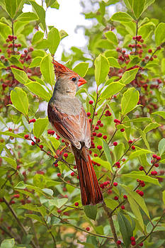 Red Bird Amidst Red Berries by Bonnie Barry