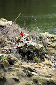 Red Bird by the Flint River Jumping to the next Perch by Kim Pate