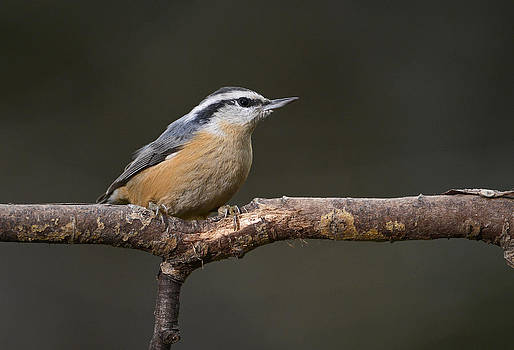 Red Breasted Nuthatch by Claudio Bacinello