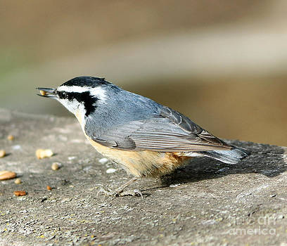 Red-breasted Nuthatch by Lori Tordsen