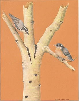 Red-Breasted Nuthatches on Aspen by Gina Gahagan