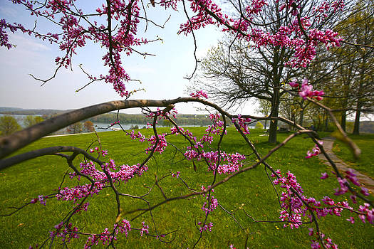 Red Bud Bloom by John Holloway