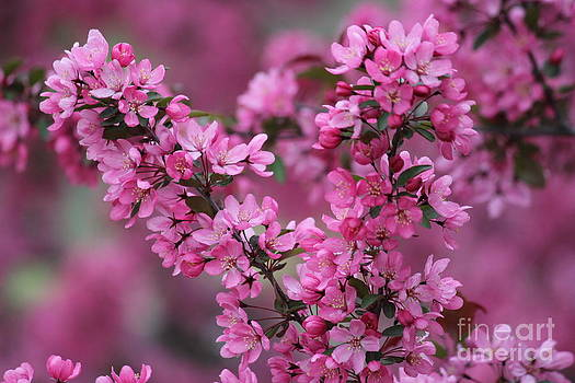 Red Bud Blossoms by Theresa Willingham
