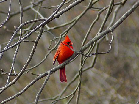 Red Cardinal by Douglas Hamilton