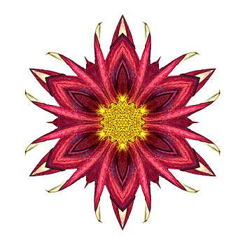 Red Chrysanthemum III Flower Mandala White by David J Bookbinder