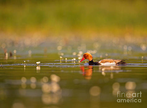 Red-crested Pochard by Jean-Luc Baron