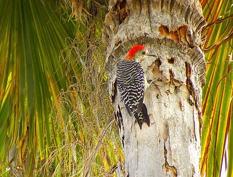 Red Crested Woodpecker by Palmer Hasty