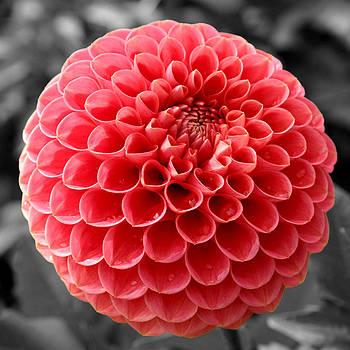 Sumit Mehndiratta - Red dahlia flower
