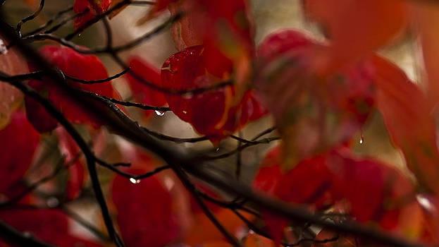 Red Dogwood Tears by Joseph Kelley