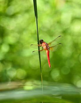Allen Sheffield - Red Dragonfly 2