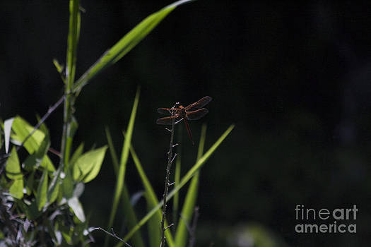 Red Dragonfly by Kristy Ollis