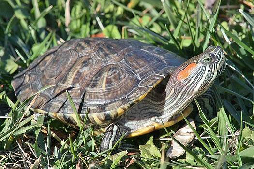 Red-Ear Slider Turtle by Wendy  Beatty