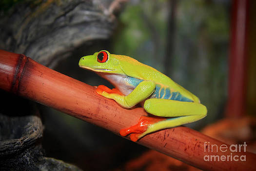 Red Eyed Tree Frog by Cathy  Beharriell