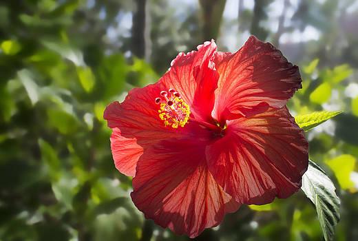Red Flower by Cindy Bray