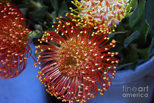 Red Flower With Yellow Tip by Tina Hailey
