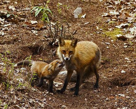Red Fox and Kit by John Stoj