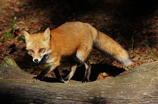 Paulette Thomas - Red Fox in the Forest