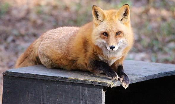 Paulette Thomas - Red Fox Resting