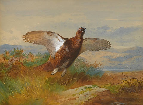 Red Grouse in Flight by Archibald Thorburn