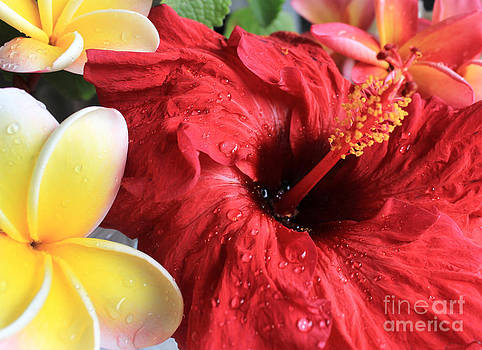Red Hibiscus by Kristine Merc