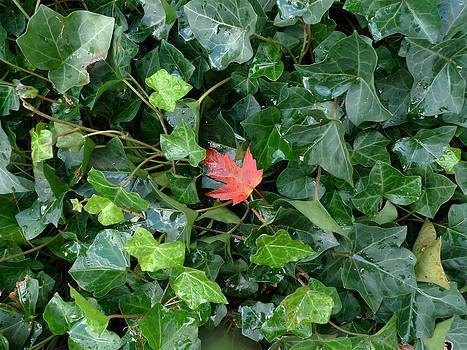 Red leaf by Nina Peterka
