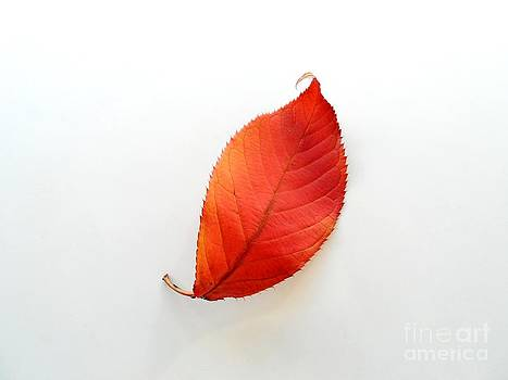 Red Leaf by Phil Paynter
