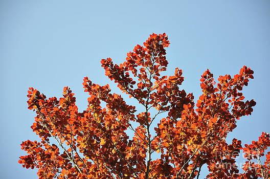 Red Leaf Tree  2 by Anatoliy Tarasiuk