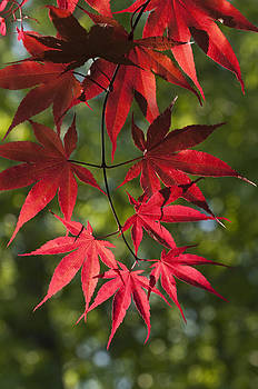 Red leafs of the maple by Chad Davis