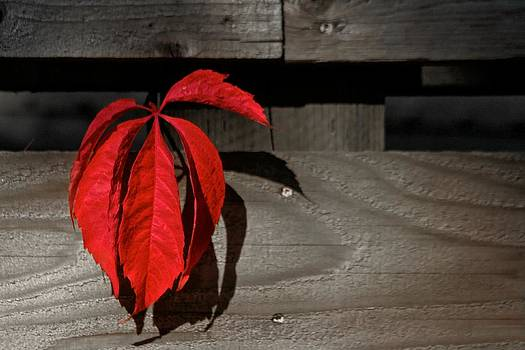 Red Leaves by Scott Holmes
