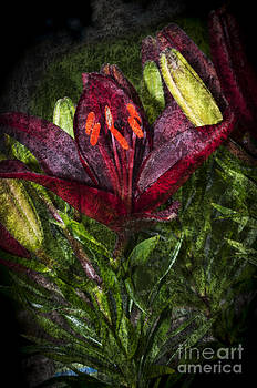 Steve Purnell - Red Lily 3