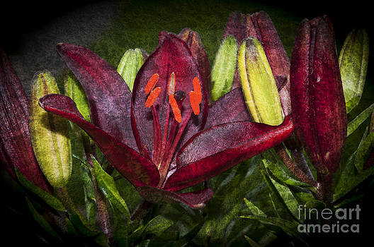 Steve Purnell - Red Lily 5