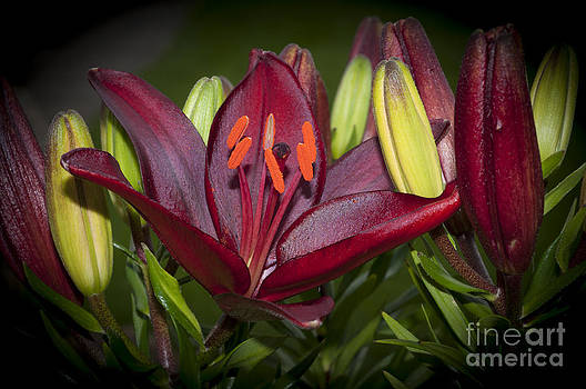 Steve Purnell - Red Lily 6