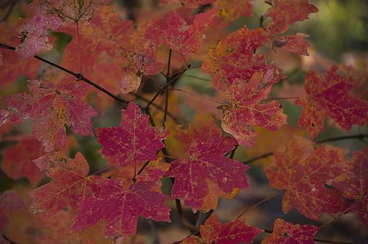 Saija  Lehtonen - Red Maple Leaves