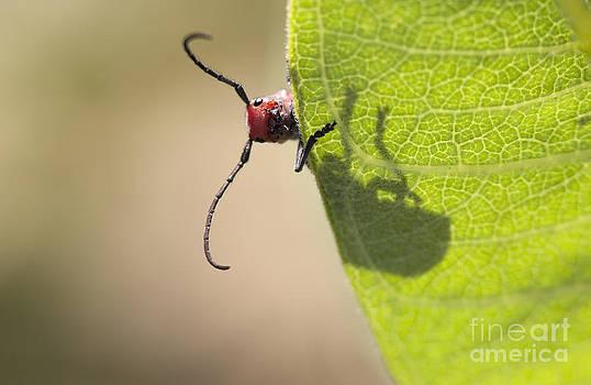 Red Milkweed Beetle Macro on a Milkweed Leaf by Brandon Alms