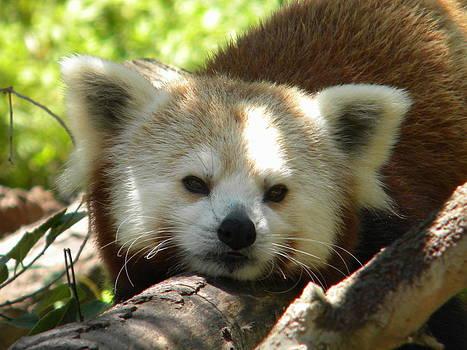 Red Panda by Amanda Eberly-Kudamik