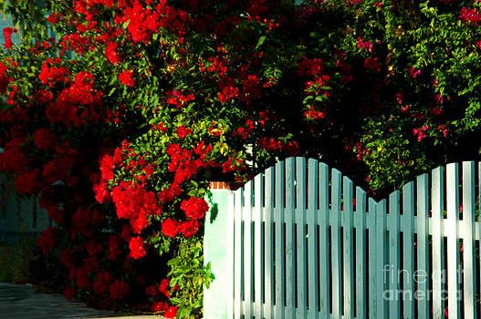 Susanne Van Hulst - Red Poincianas are blooming in Key West