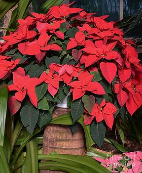 Red Poinsettia by Kathleen Struckle