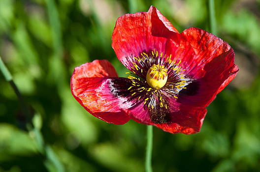 Wild Red Poppy Bloom by Mark Weaver