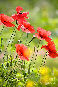 Red Poppies by FunCards