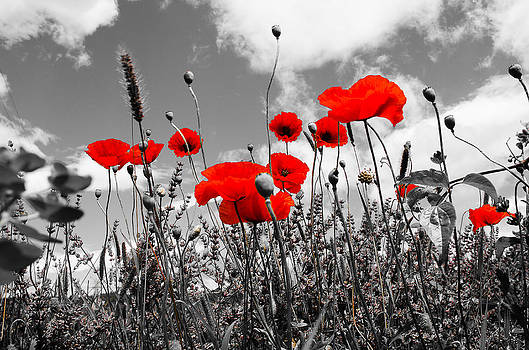 Red Poppies on black and white background by Dany Lison