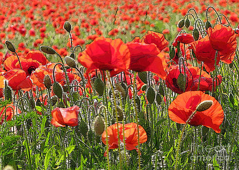 Red Poppy Art by Elizabeth Debenham