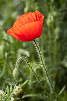Red poppy by David Isaacson