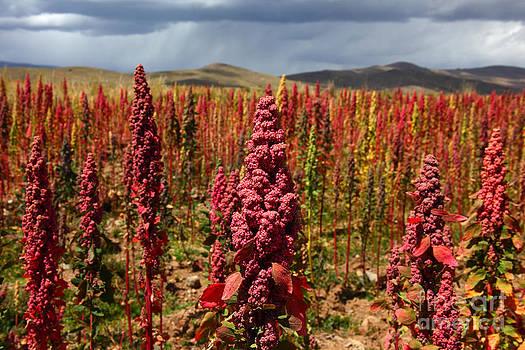 James Brunker - Red Quinoa