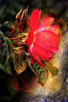 Red Rose In Bloom by Anne Macdonald